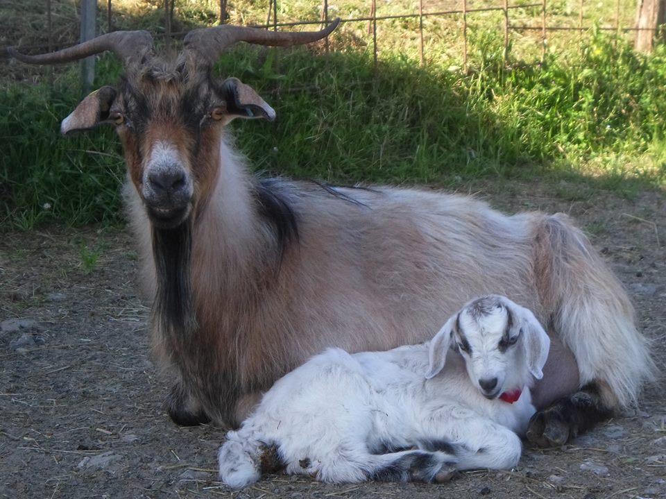 Una capra da cashmere dell'Azienda Agricola La Penisola
