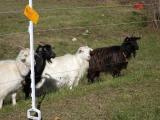 Le capre a lavoro nell'area di laminazione di Campomaggio