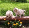 Cuccioli di Labrador da affidare