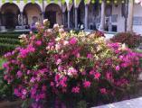Azalee nel chiostro di San Lorenzo a Firenze
