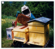 Apicoltura (immagine dal sito della Regione Toscana)