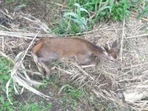 Il cucciolo di cervo ferito (Fonte foto provincia di Prato)