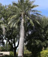 Palma monumentale