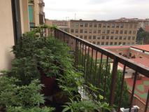 Fonte Foto GdF - Cannabis coltivata terrazzo