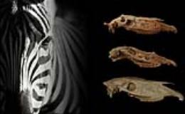 evoluzione zebre (fontefotoUnifi)