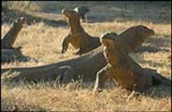 Ricostruita la storia evolutiva della più grande lucertola vivente al mondo (foto da comunicato)