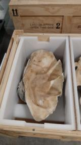 "Conchiglie di ""Tridacna Gigas"", mollusco gigante a rischio estinzione"